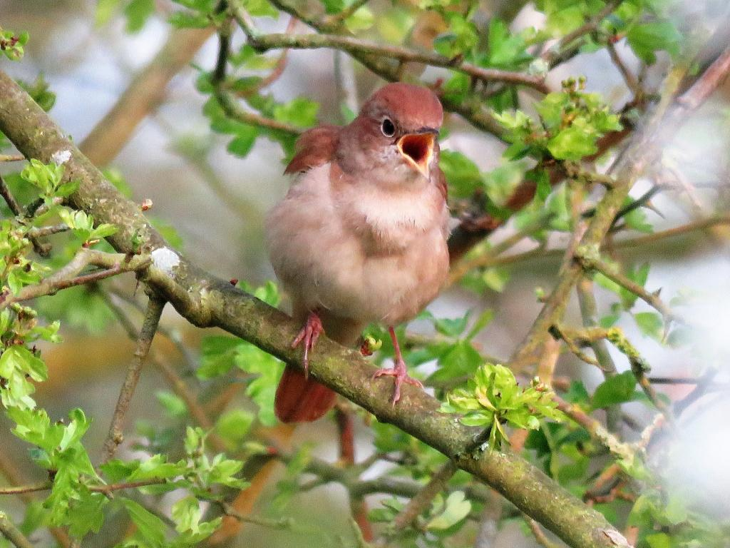 Nightingale at Abberton Reservoir on 17 Apr 2019, (Paul Fletcher, )