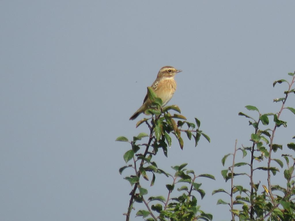 Whinchat at Blue House Farm EWT, North Fambridge on 26 Aug 2019, (Paul Fletcher, Canon Powershot 65X)