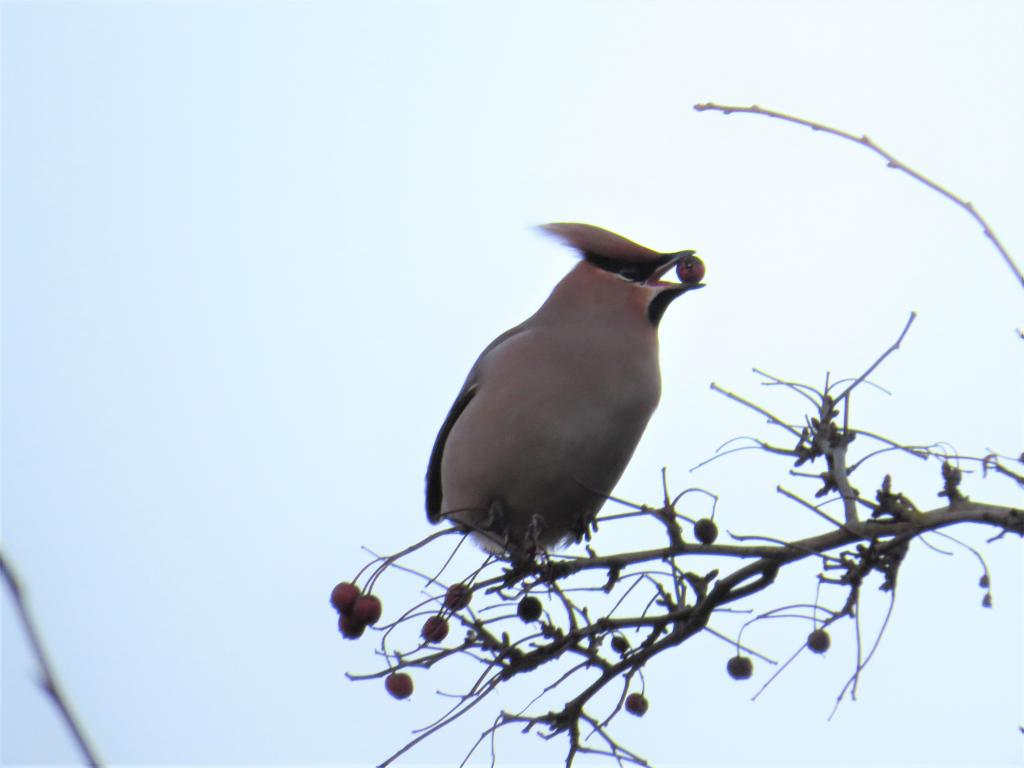 Waxwing at Colchester on 03 Feb 2019, (Matt Turner, ATS80/S6 -Canon SX50HS)