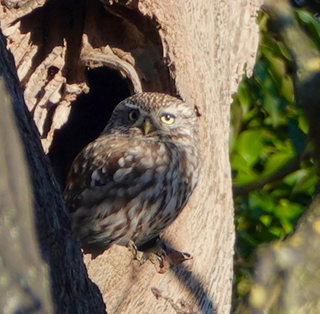 Little Owl at Eastwood, near Southend-on-Sea on 14 Feb 2019, (Peter Heath, SONY RX10 4)