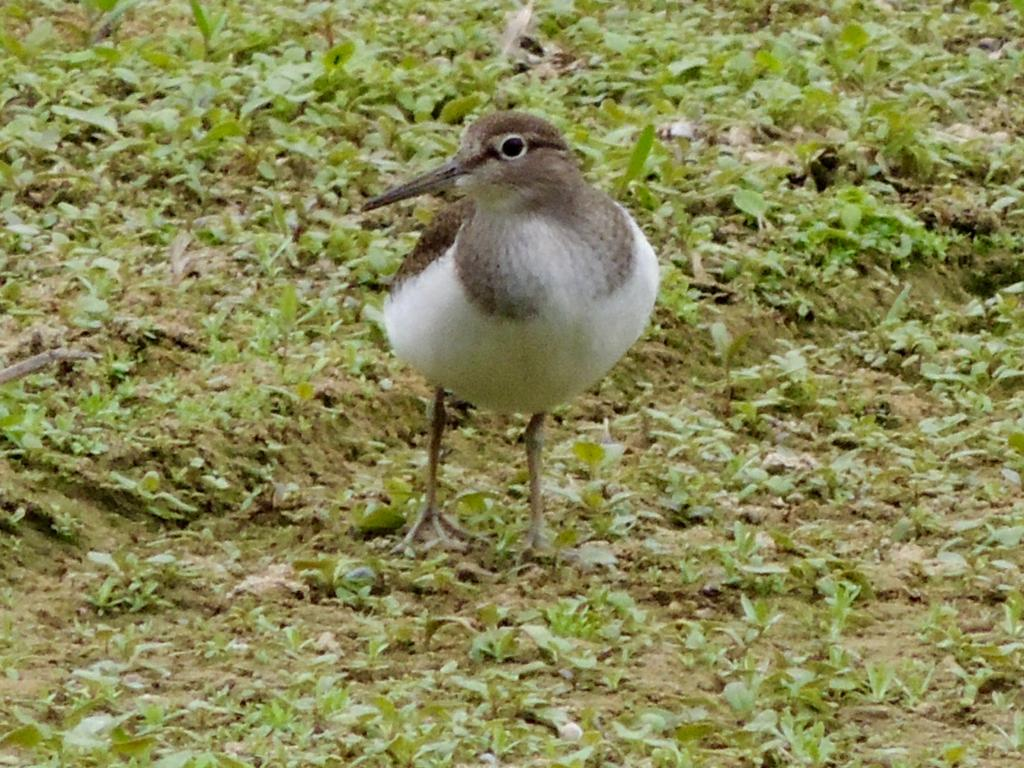 Common Sandpiper at Hanningfield Reservoir on 16 Aug 2019, (David Hale, NIKON BRIDGE.)