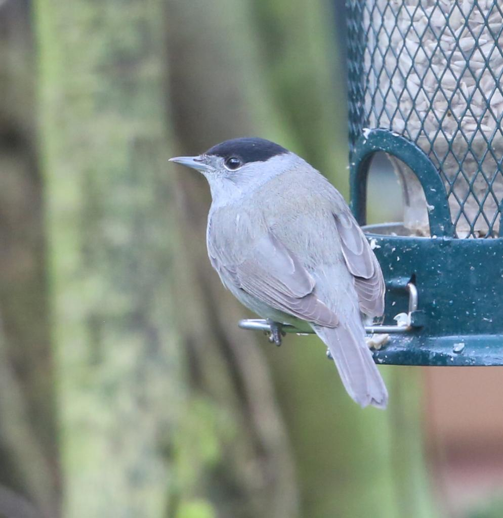 Blackcap at Colchester on 14 Mar 2020, (Sean Nixon, )