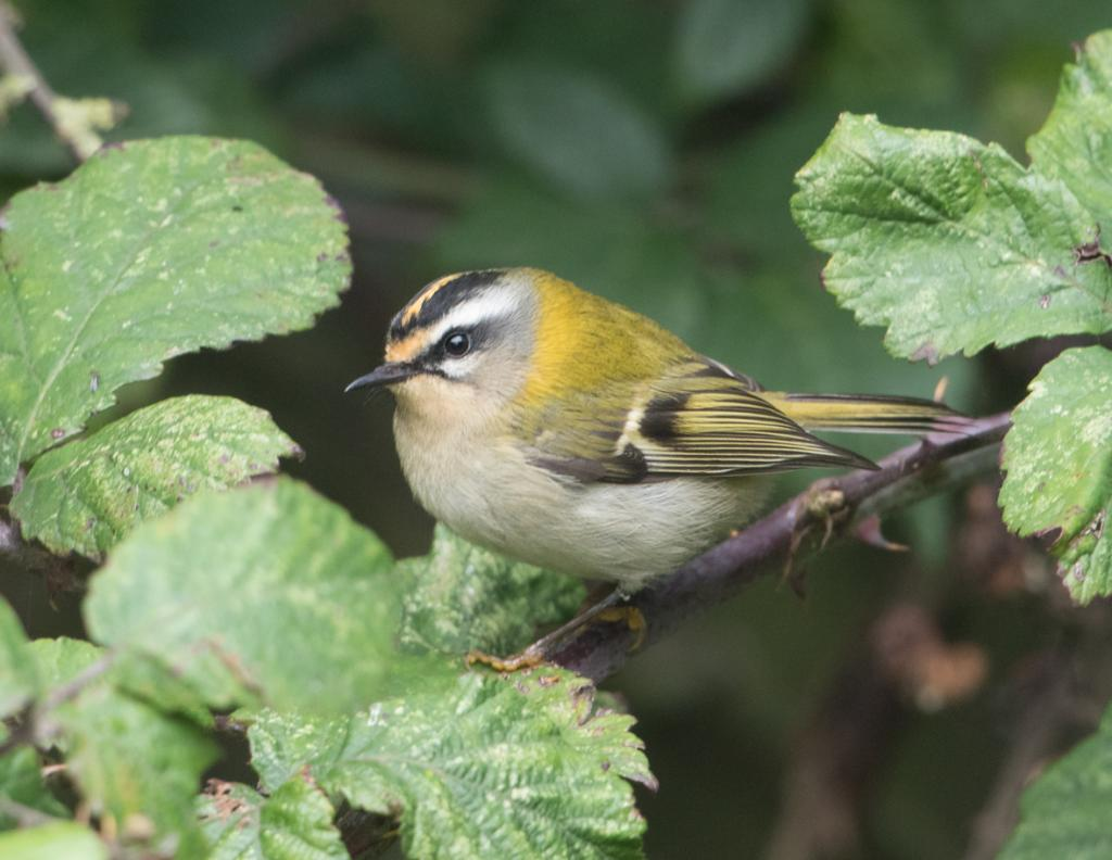 Firecrest at Naze, The on 25 Oct 2019, (Sean Nixon, )