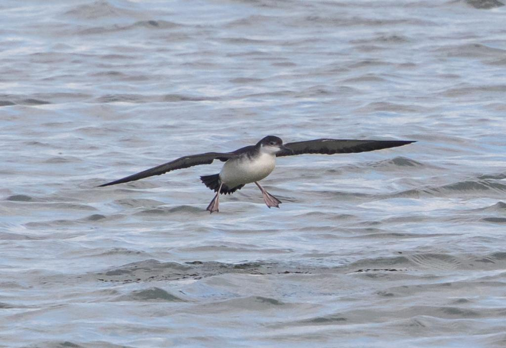 Manx Shearwater at Abberton Reservoir on 11 Sep 2019, (Sean Nixon, )