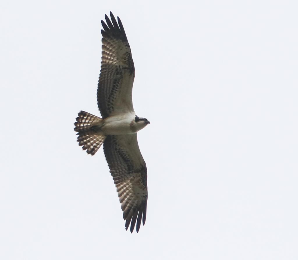 Osprey at Manningtree on 29 Sep 2019, (Sean Nixon, )