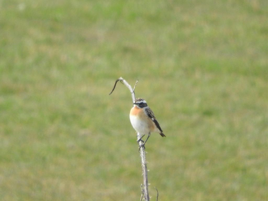 Whinchat at Frinton-on-Sea on 12 Apr 2020, (Liz Huxley, )