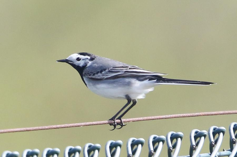 White Wagtail at Abberton Reservoir on 15 Apr 2019, (Sean Nixon, )